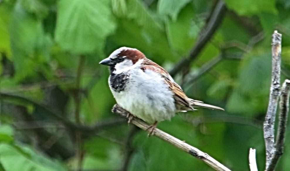 Vrabec domový (Passer domesticus)
